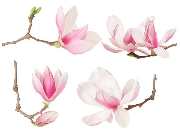 магнолия цветок веточка spring collection  - magnolia стоковые фото и изображения