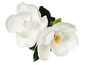 マグノリアの花のホワイト Magnolias 花の木の花