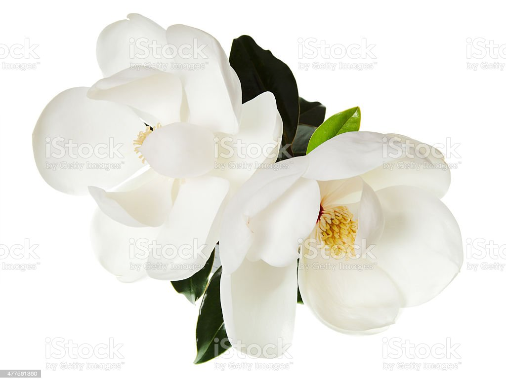 Magnolia Flower White Magnolias Floral Tree Flowers stock photo