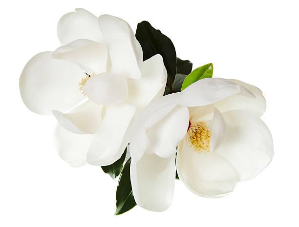 магнолия цветок с цветочным дерево цветы белый magnolias. - magnolia стоковые фото и изображения