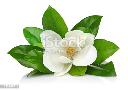 istock Magnolia flower with leaves 1093207518