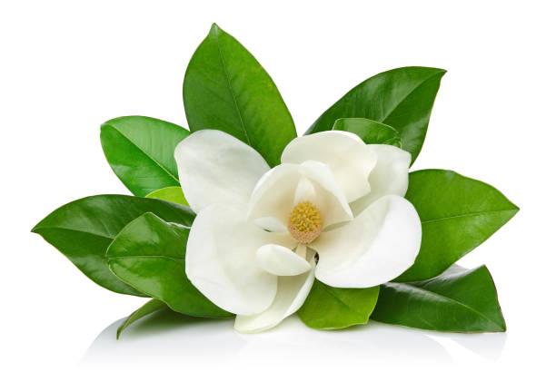 magnolia flower with leaves - magnolia стоковые фото и изображения