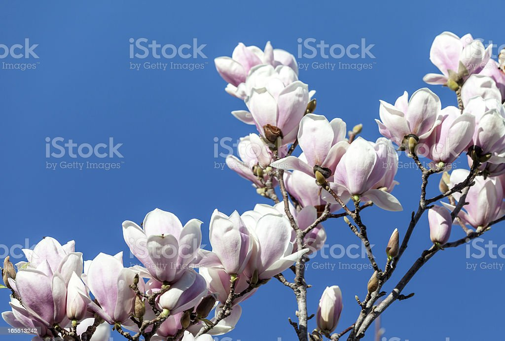 Magnolia Flowers Against Blue Sky royalty-free stock photo