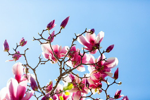 Closeup Magnolia flowers and buds, beautiful nature abstract background with copy space, full frame horizontal composition
