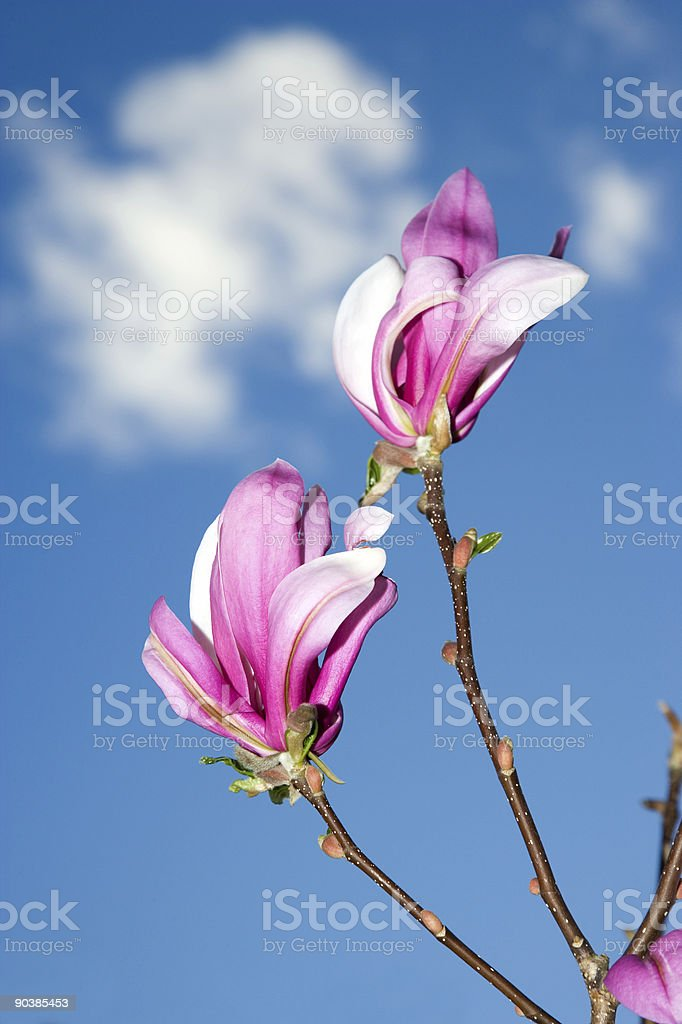 Magnolia flowers in April royalty-free stock photo