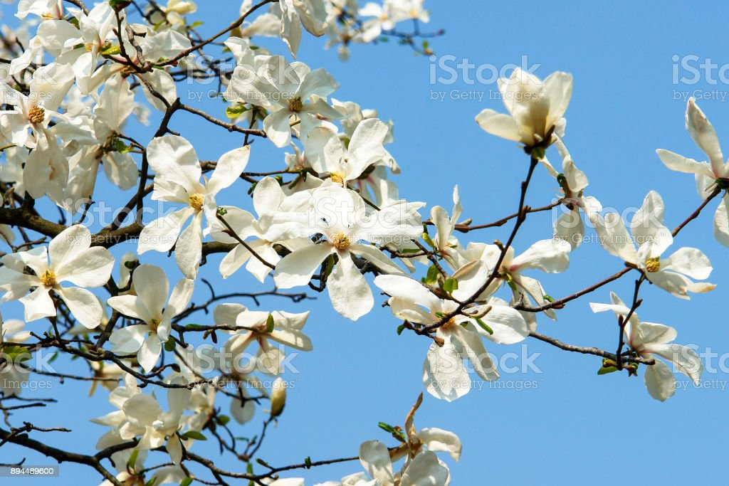 Magnolia flowers in blossom stock photo