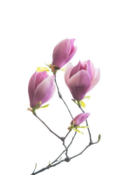magnolia flowers isolated on white stock photo