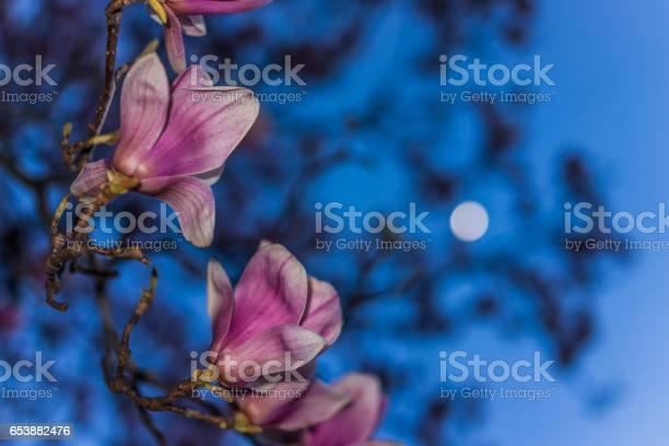 Photo of Magnolia flowers macro closeup against blue sky and moon