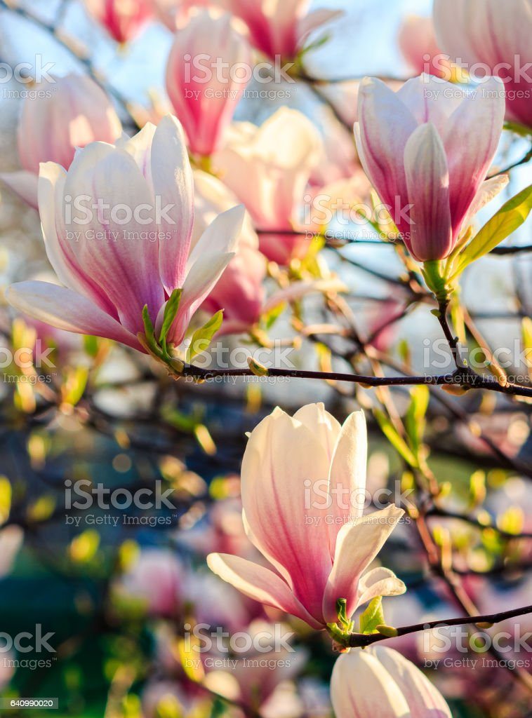 magnolia flowers on a blurry background stock photo