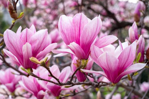 Magnolie-Blumen – Foto