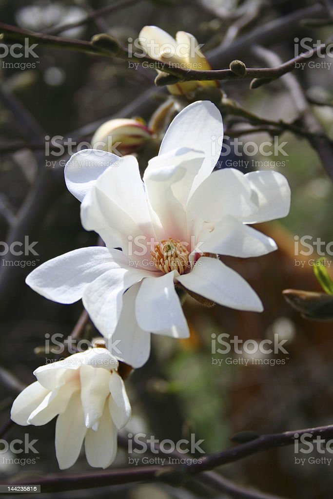 Magnolia flowers. royalty-free stock photo