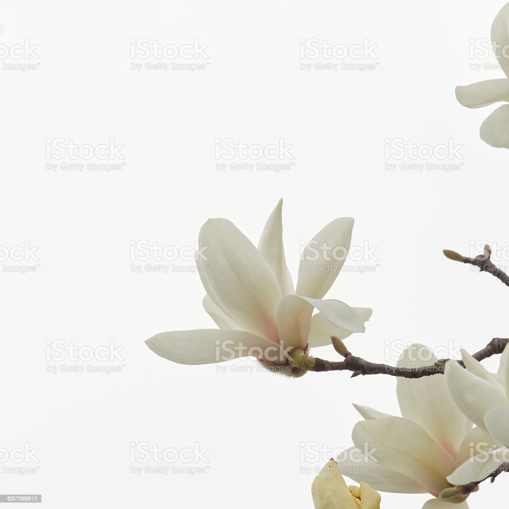Magnolia flowers. stock photo
