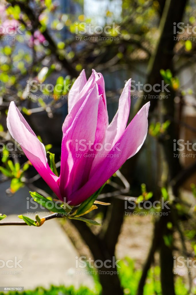 Magnolia Flowers Stock Photo More Pictures Of Beauty Istock