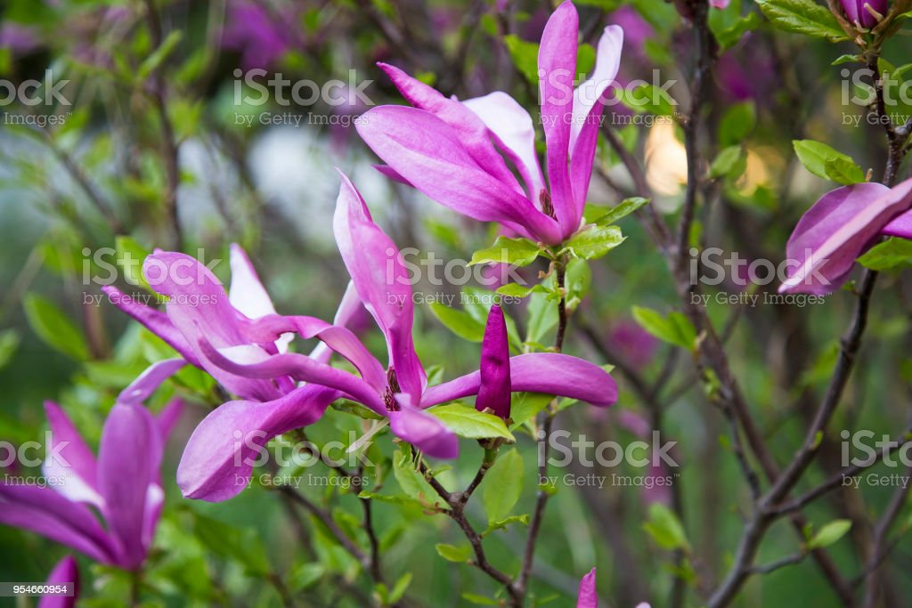 Magnolia Flowers Pink Spring Blossoms Outdoors Stock Photo More