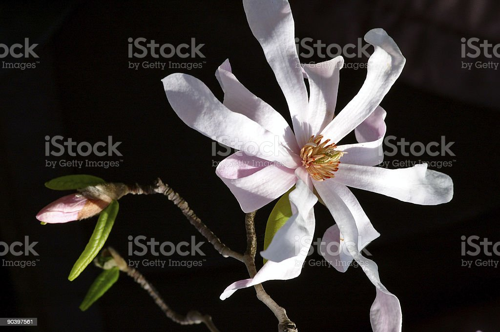 Magnolia for ever royalty-free stock photo