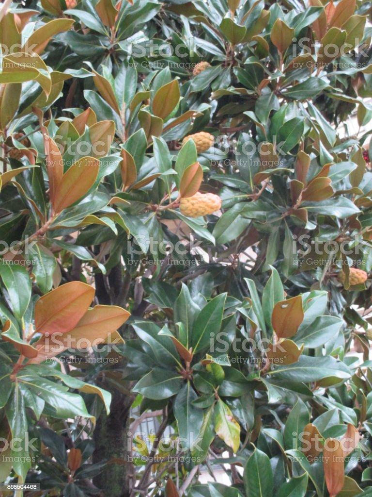 Magnolia fruit stock photo