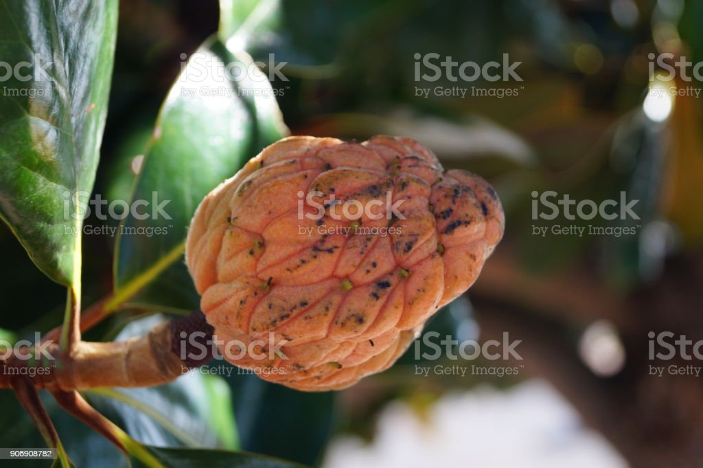 Magnolia grandiflora - Immergrüne Magnolie stock photo