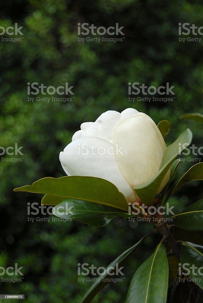 Magnolia Grandiflora Flower Bud royalty-free stock photo