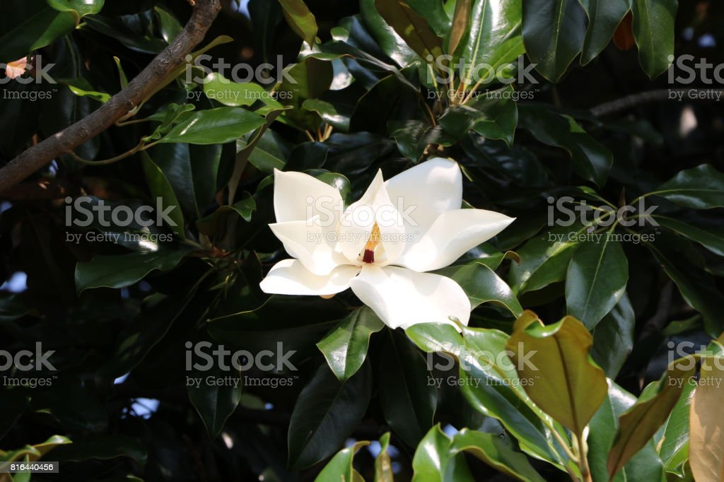 Magnolia grandiflora, Italy stock photo