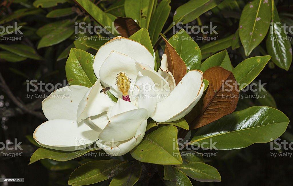 Magnolia Grandiflora or  Southern Magnolia. stock photo
