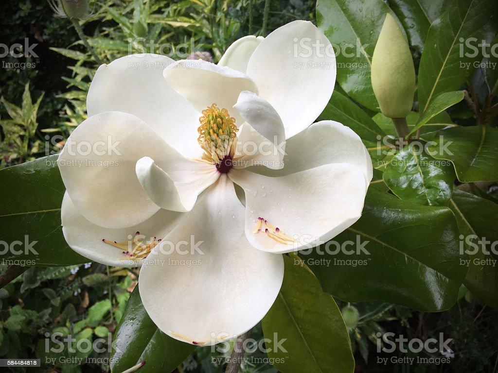 Magnolia Grandiflora stock photo