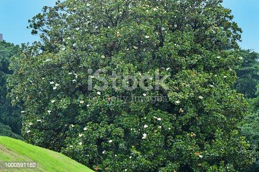 istock Magnolia grandiflora / Southern Magnolia Flower 1000591152