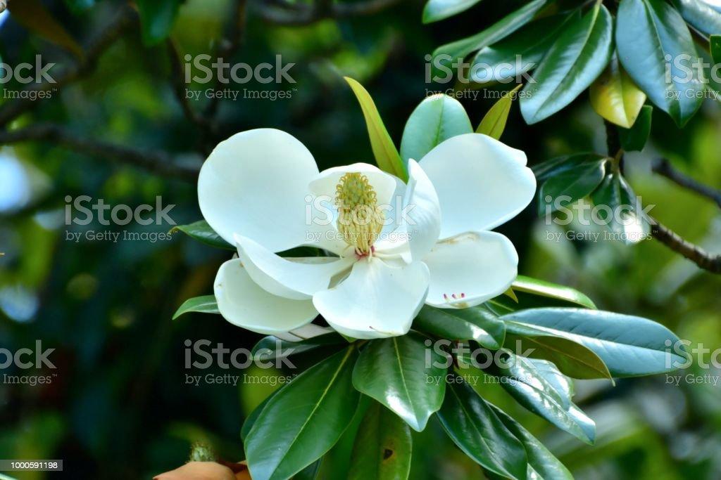 Magnolia Grandiflora Southern Magnolia Flower Stock Photo More