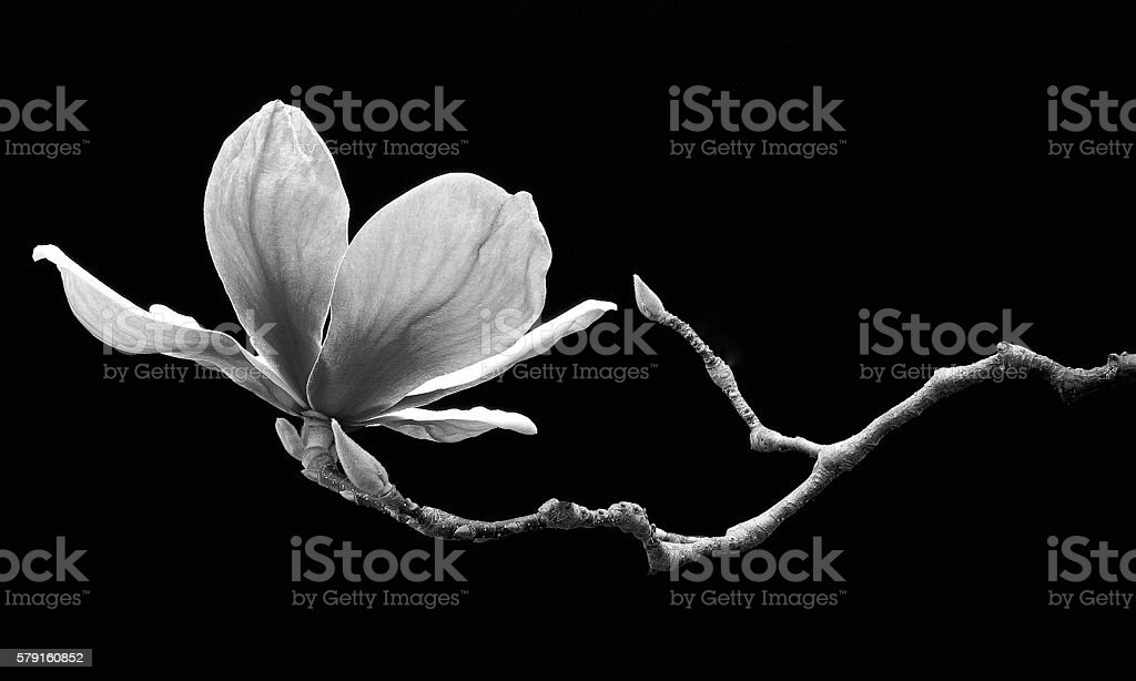 Magnolia in Suspension stock photo