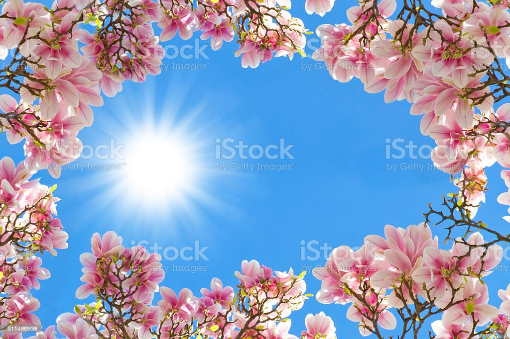 Magnolia in the spring sun stock photo