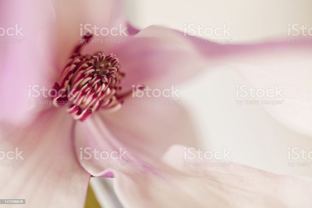 Magnolia Jane Blossom in pink and white hues royalty-free stock photo