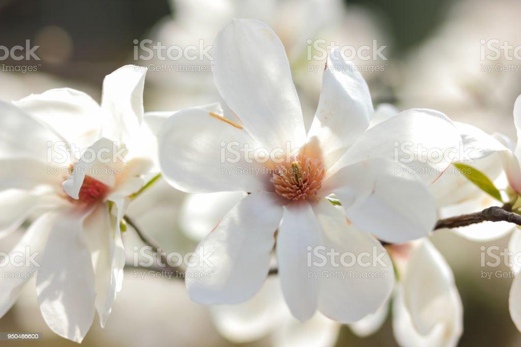 Magnolia kobus white magnolia flowers in the sunlight a blurred magnolia kobus white magnolia flowers in the sunlight a blurred background an unopened mightylinksfo
