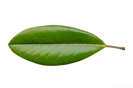 Magnolia leaf isolated