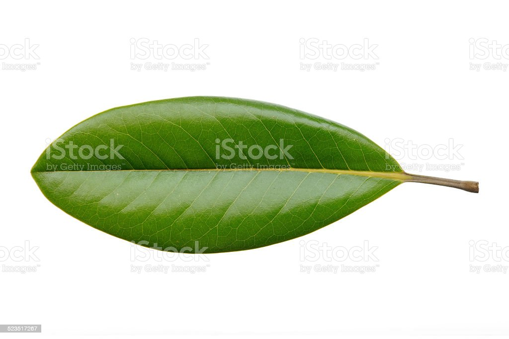 Magnolia leaf isolated stock photo