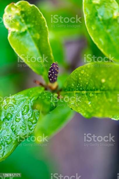 Magnolia Leaf Stock Photo - Download Image Now