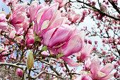 Magnolia liliiflora in Bloom
