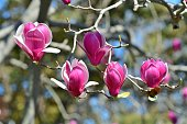 Magnolia liliiflora / Lily Magnolia