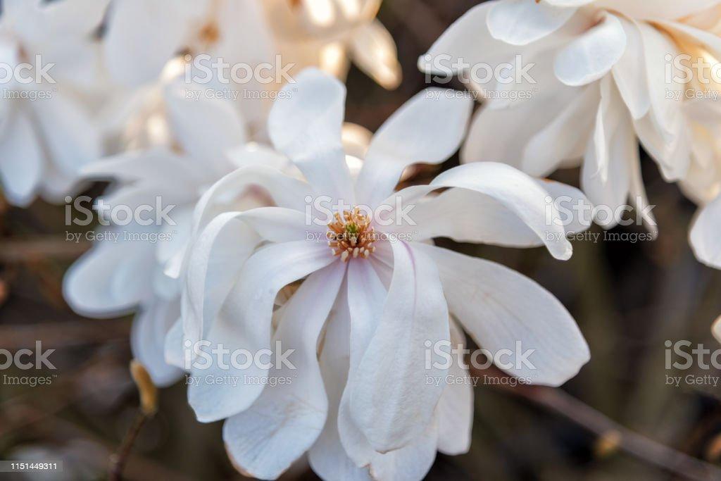 Magnolia Loebneri Wildcat White Filled Blooming Magnolia Stock