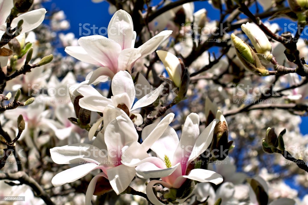 Magnolia (Magnolia), Magnoliaceae, buds and flowers in spring - Royalty-free Bavaria Stock Photo