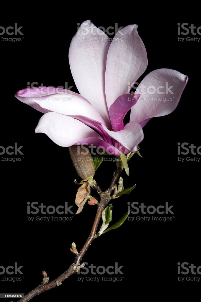 Magnolia on black royalty-free stock photo