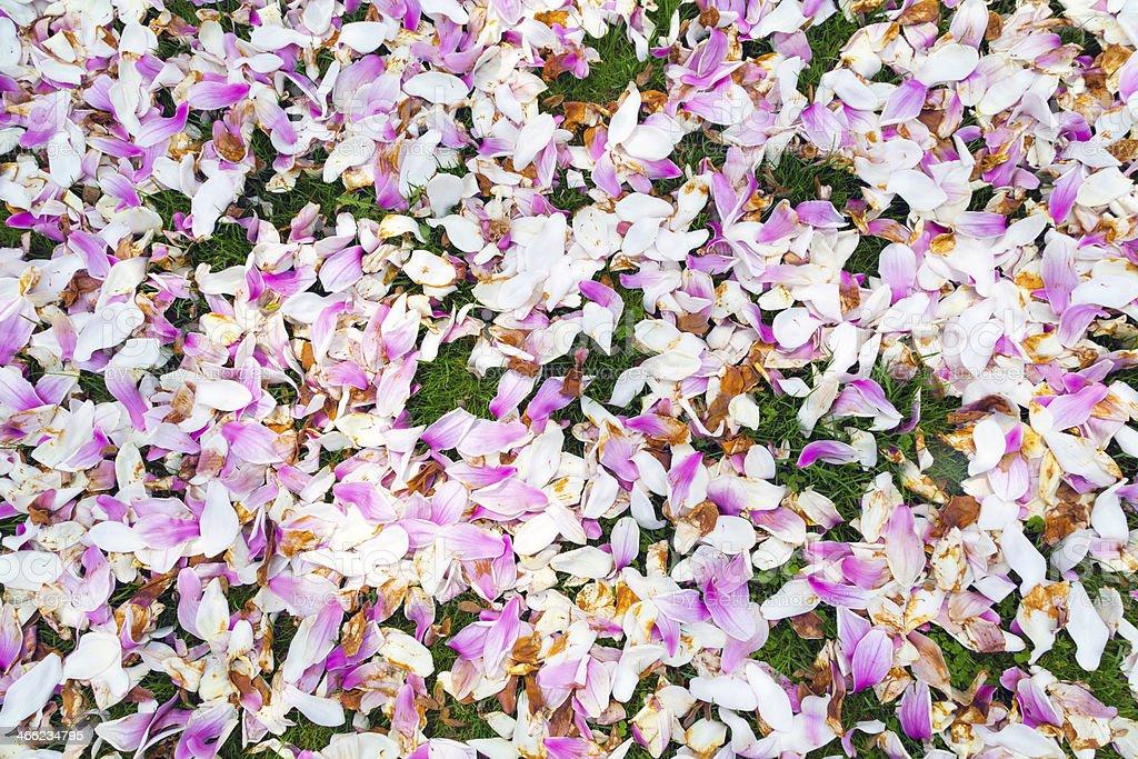 magnolia petals royalty-free stock photo