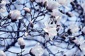 istock Magnolia 1294761826
