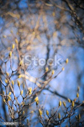 istock Magnolia 1308343471