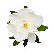 White magnolia flower isolated on white.