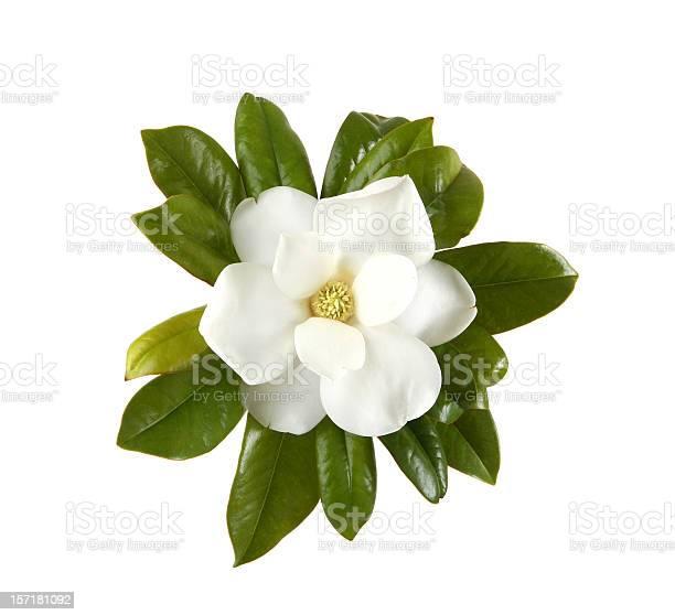 Magnolia picture id157181092?b=1&k=6&m=157181092&s=612x612&h=vtdwr7oinusuvkyih7uip6urrjo04urb ar2e20mo 4=