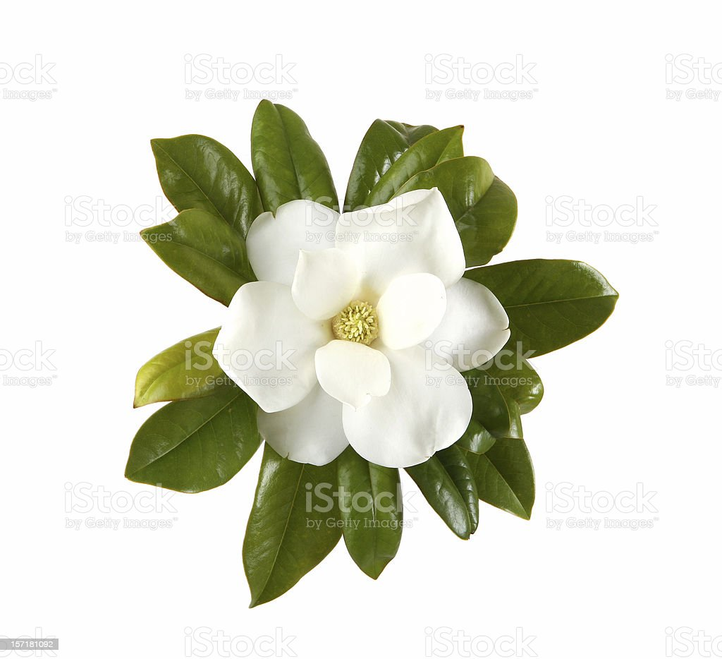 Magnolia stock photo