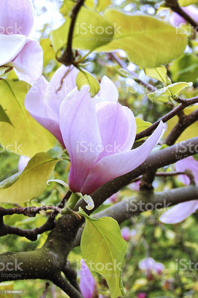 Magnolia royalty-free stock photo