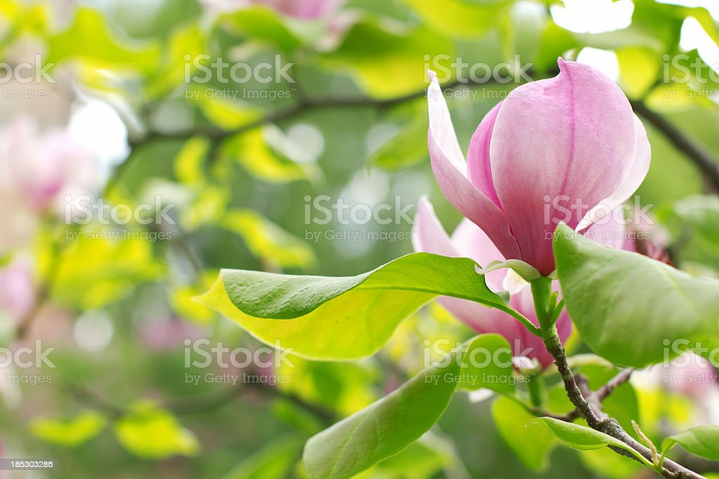 Magnolia. royalty-free stock photo