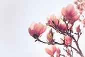 「Magnolia 」