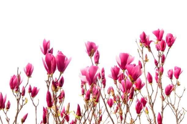 magnolia - Photo