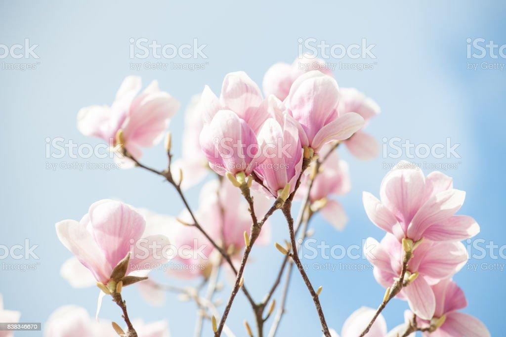 Magnolia różowa na tle nieba stock photo